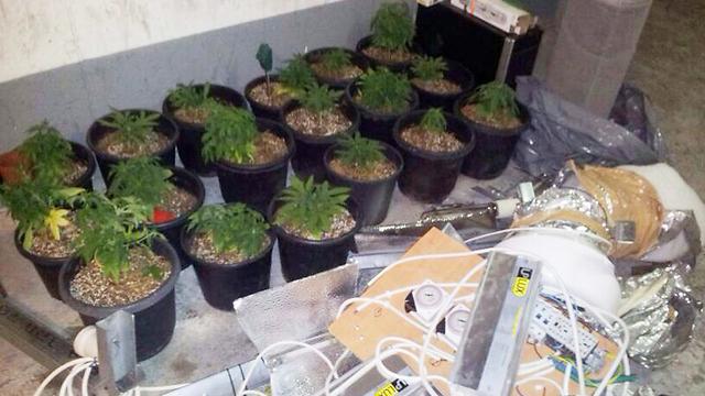 חלק מהשתילים שנתפסו (צילום: דוברות משטרת ישראל ) (צילום: דוברות משטרת ישראל )