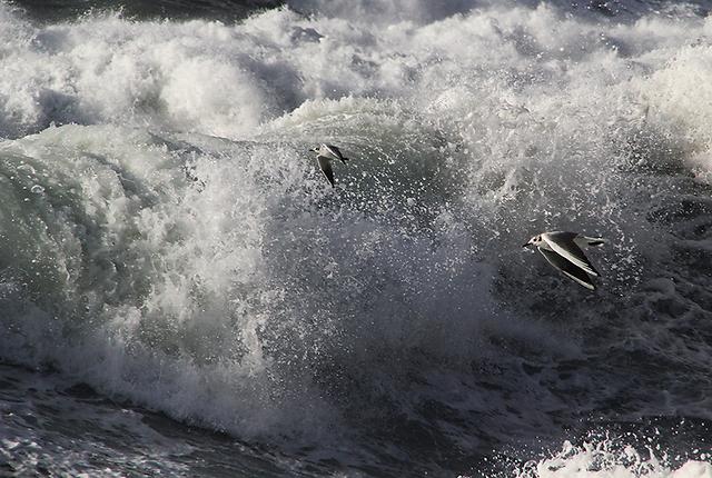 """שחפי אגמים (Chroicocephalus ridibundus). השחפים צולמו בחוף אשדוד בפברואר 2012 ע""""י אורן מגורי כהן, בן 15 מאשדוד."""