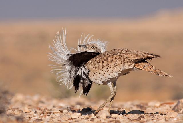 חוברה - עוף קרקע מדברי גדול המצוי בסכנת הכחדה בישראל (צילום: גל שון)