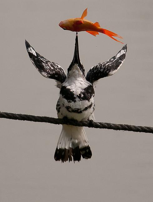 פרפור עקוד צד דג (צילום: דוד אופנהיים)