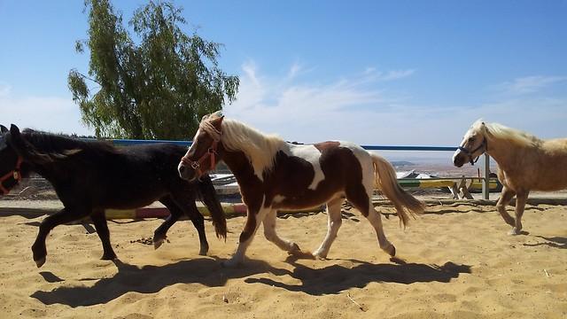 """יש חיים ובע""""ח בחבל יתיר. סוסי פוני דוהרים בחוות תחיה  (צילום: זיו ריינשטיין) (צילום: זיו ריינשטיין)"""