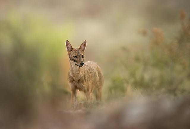 תן זהוב ביער בן שמן (צילום: אלכס גייפמן)