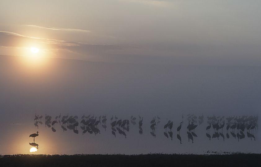 עגורים אפורים בשמורת החולה (צילום: ישראל לדרמן) (צילום: ) (צילום: )