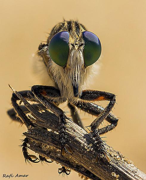 זבוב טורף במרכז הארץ (צילום: רפי עמר) (צילום: ) (צילום: )
