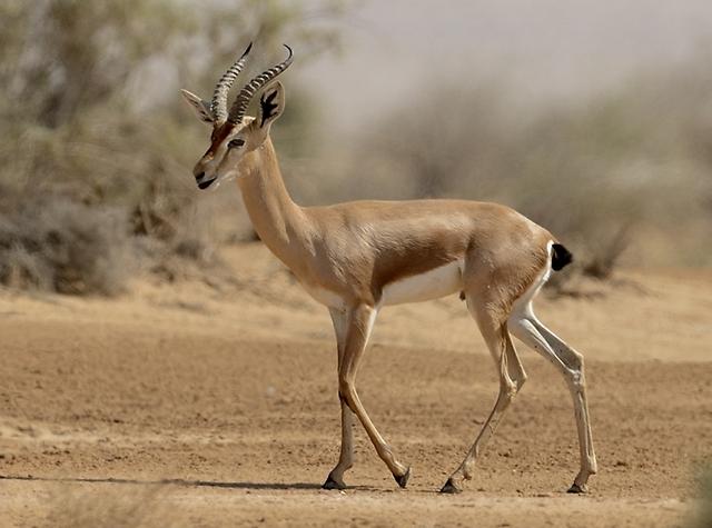 צבי בערבה (צילום: מיכה אורבך) (צילום: )