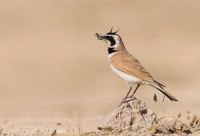 צחיחנית במדבר בערבה (צילום: אבי מאיר) (צילום: )
