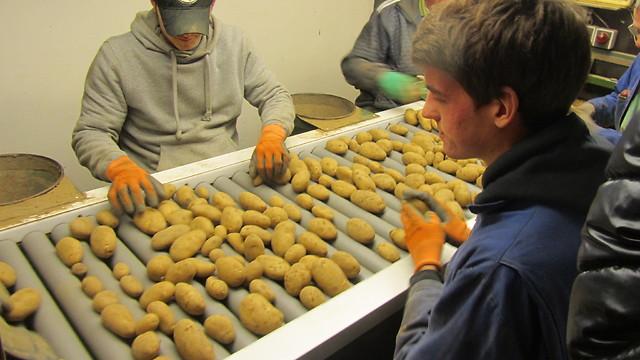 ממיינים תפוחי אדמה וחוסכים חשמל (צילום: יובל מן) (צילום: יובל מן)