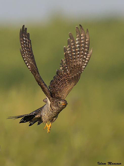 קוקיה אירופאית בתעופה במרכז הארץ (צילום: אסלאם מנסור) ()