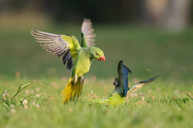 שתי ציפורים ממין פולש - הדררה והקוואקר במרכז הארץ (צילום: צחי פינקלשטיין)