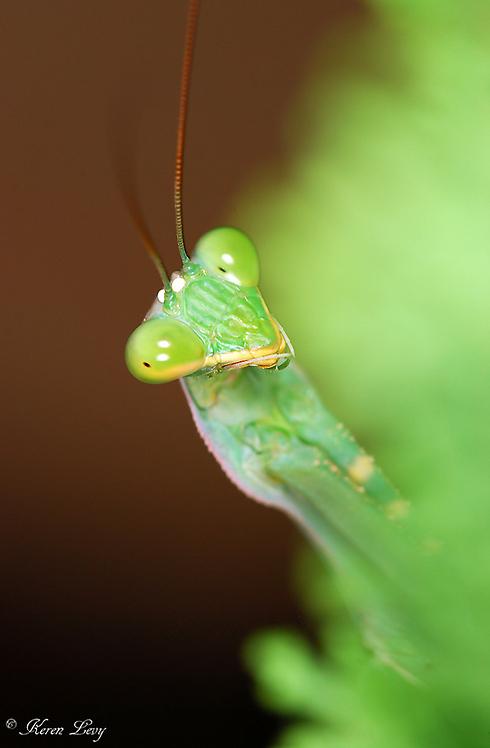 גמל שלמה ירוק בקצרין (צילום: קרן לוי) ()