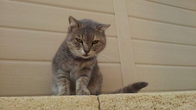 חתולים שיוצאים מהבית חשופים יותר לסכנת פגיעה ובריחה (צילום: ארז ארליכמן) (צילום: ארז ארליכמן)