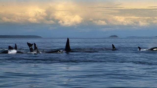 לפי הסרט, צדים את הלווייתנים תוך הרג של המבוגרים שבהם  (צילום: באדיבות yes דוקו) (צילום: באדיבות yes דוקו)