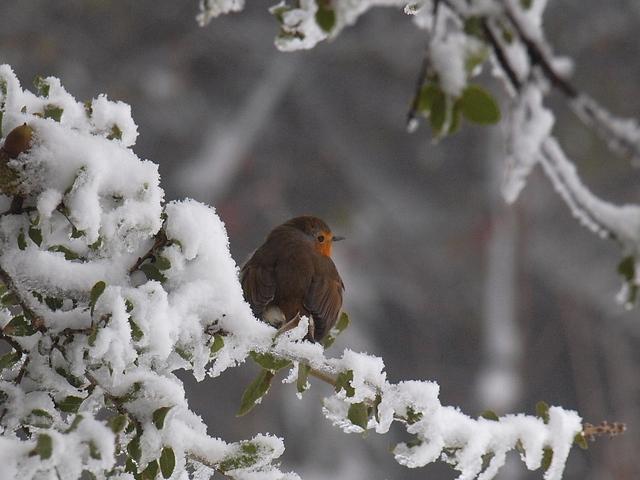 אדום חזה על עץ מושלג בגולן (צילום: איתמר יאירי)