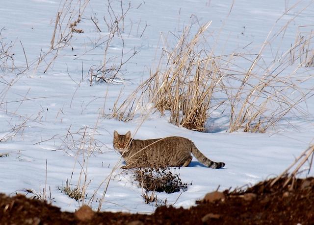 חתול בר פוסע בשלג בגולן (צילום: איתמר יאירי)