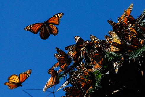 לאן הפרפרים עפים אנחנו כבר יודעים, אבל איך? (צילום: רויטרס)