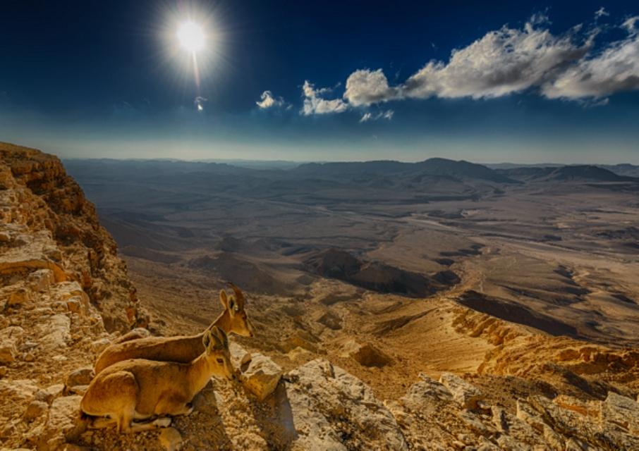 יעלים נוביים במכתש רמון (צילום: עידו מאירוביץ) (צילום:)