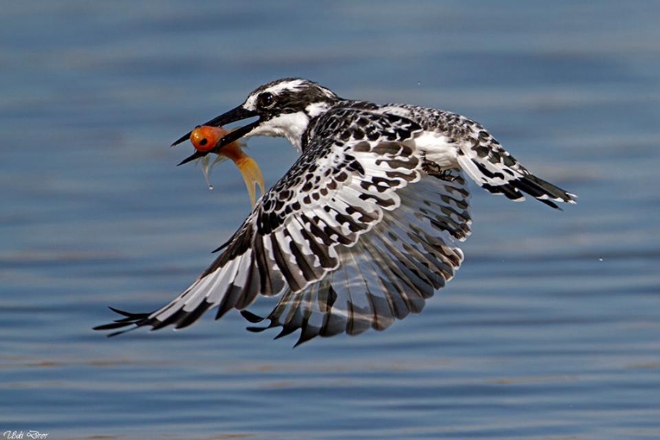 פרפור עקוד עם דג בצפון הארץ (צילום: אהוד דרור) (צילום:)