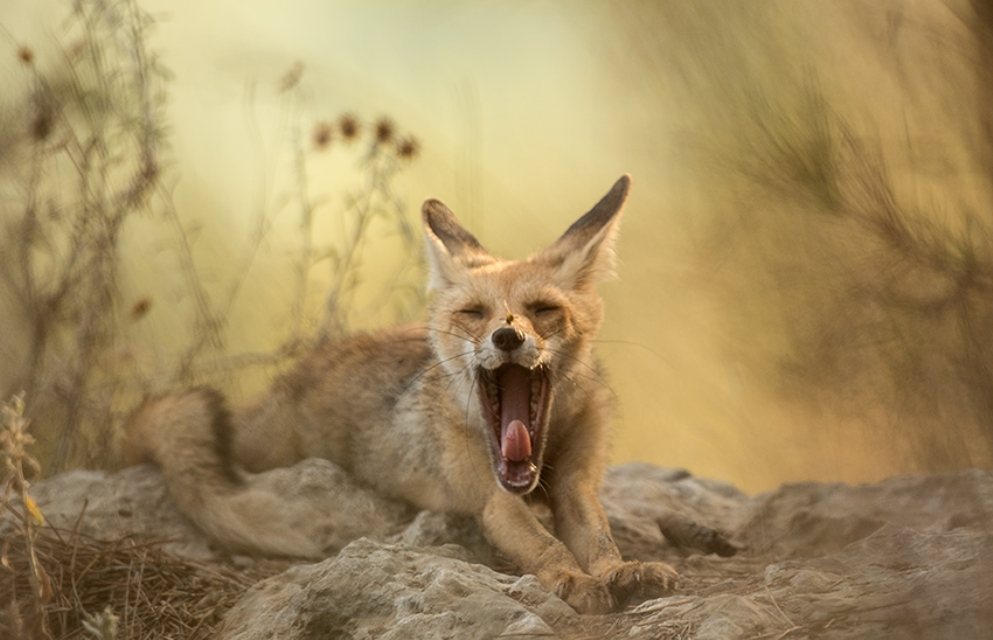 שועל מפהק עם צרעה על האף במרכז הארץ (צילום: אלכס גייפמן) (צילום:)