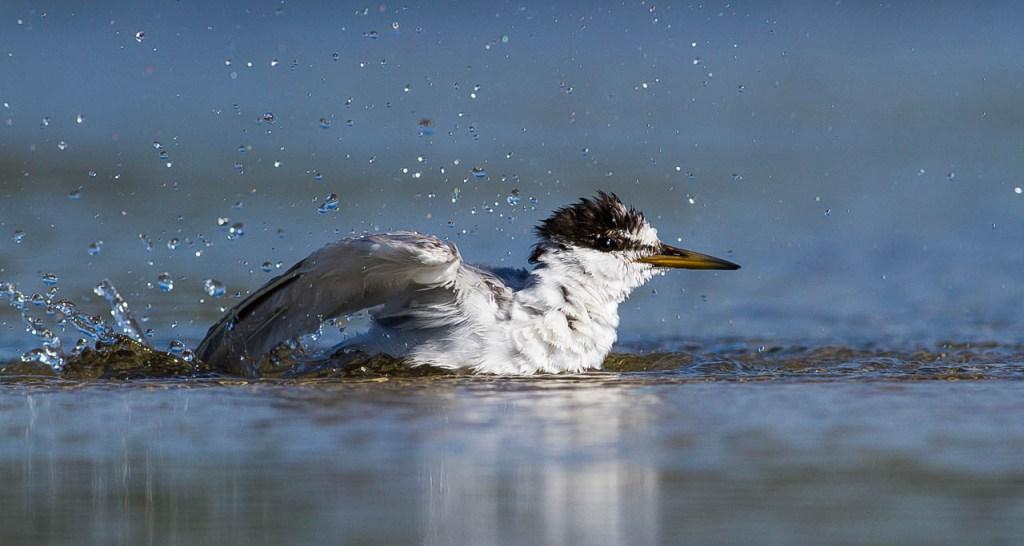 שחפית גמדית בחוף הכרמל (צילום: בני יוז) (צילום:)