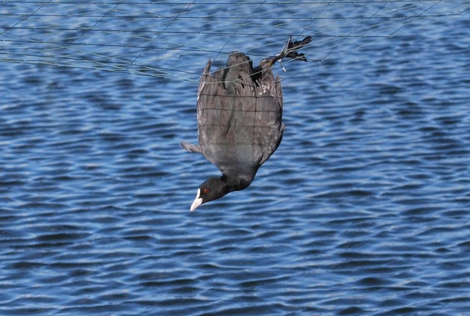 אגמית לכודה ברשת מעל בריכת דגים בצפון הארץ (צילום: יאיר בהרב) (צילום:)
