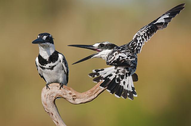 פרפורים עקודים באגמון ראשון לציון (צילום: אייל עמאר)
