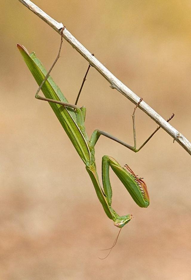 גמל שלמה ירוק בתל חדיד (צילום: עוז בן יהודה)