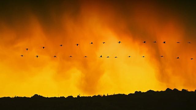 עגורים אפורים בעמק החולה (צילום: פאבלו רודאף)
