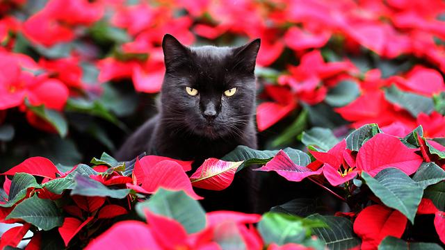 חתולים. שריטה שלהם עלולה להיות מסוכנת (צילום: AP)