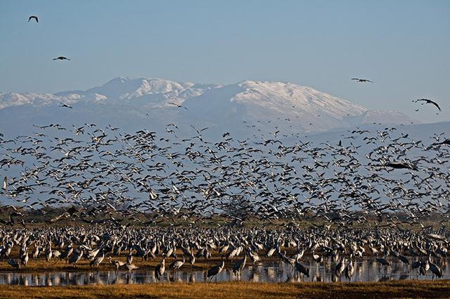 עגורים אפורים בעמק החולה (צילום: אילן בן טוב) ()
