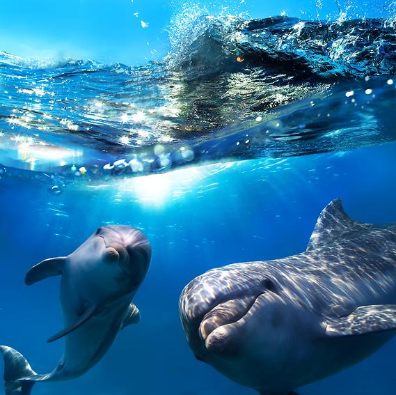 דולפינים שובבים. האי לאנאי (צילום: shutterstock)
