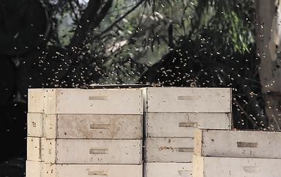 דבורים מתו בכל 37 הכוורות. אילוסטרציה (צילום: גיל לרנר)