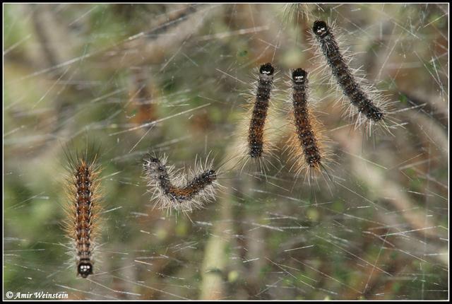 זחלי דובון קורים. הקורים מסייעים לזחלים לבלום נפילה ואף להגנה מפני טורפים (צילום: עמיר וינשטיין)