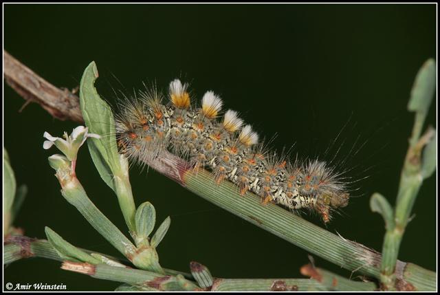 טוואית הארכובית. זחל שעיר ששיערותיו עלולות לגרום לגירוי בעור (צילום: עמיר וינשטיין)