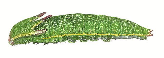 נמפית הקטלב. ראש עם ארבע קרניים מיוחדות וכתמים בצורת טיפה על גבו (איור: טוביה קורץ)