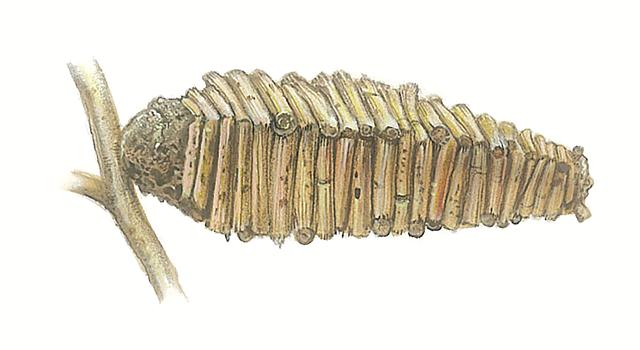 ססתיק מרובע. זחל חי בתוך תיק מרובע המורכב מזרדים אותם הוא גוזם לפי המידה (איור: טוביה קורץ)