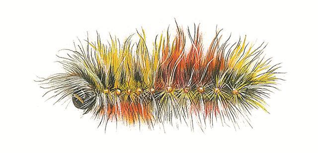 תנשמית יהודה. בעל שערות ארוכות בצבע צהוב-כתום ואף באדום (איור: טוביה קורץ)
