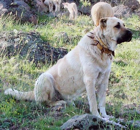 כלב מסוג רועה טורקי, שכמוהו החזיק חייא בביתו ()