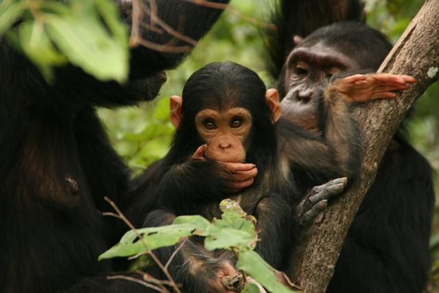 """גור שימפנזה (צילום: אנדרה זאכר / יח""""צ הסרט Jane's Journey, 2011) ()"""