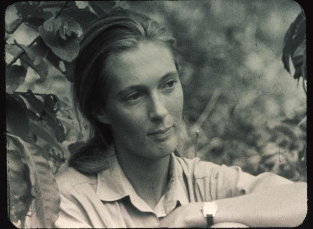 """תמונה של ג'יין גודאל משנת 1964. (צילום: הוגו ואן לאוויק / יח""""צ הסרט Jane Goodall's Wild Chimpanzees, 2002) ()"""