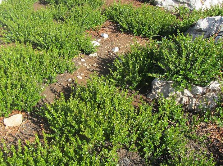 הדסים בין חגוי הסלע (צילום: אמנון גופר)