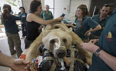 Syrian bear undergoes surgery at the Wildlife Hospital in Ramat Gan Safari (Photo: Reuters)