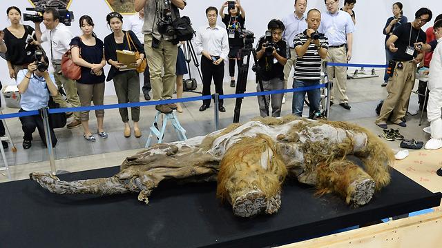 גופת ממותה מוצגת ביפן. מי רוצה לשבט אותה? זה אפשרי (צילום: AFP)