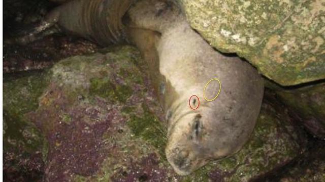 כלבת הים מ-2010 שעלתה למרינה בהרצליה (צילום: שמוליק לנדאו) (צילום: שמוליק לנדאו)