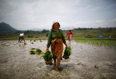 אחת המדינות העניות באסיה. שדות אורז בקוקאנה, נפאל (צילום: רויטרס)