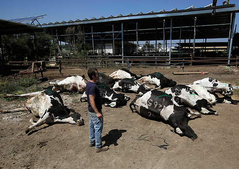 Cattle killed by rocket in Be'er Tuvia (Photo: AP)