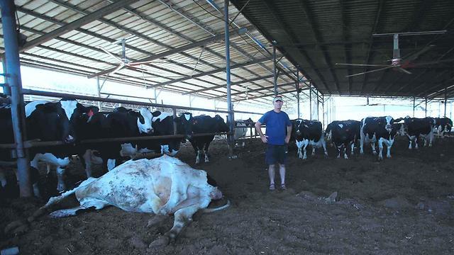 11 פרות נהגרו מרקטה במהלך צוק איתן. הרפת של יוראי זולר מבאר טוביה