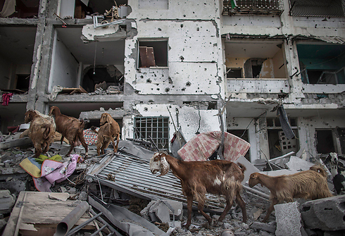 Goats roaming through ruins of a building during Operation Protective Edge (Photo: EPA)