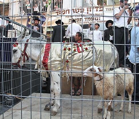 Lamb in exchange for donkey foal (Photo: Yaakov Cohen)