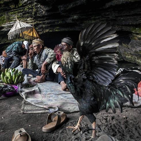 תרנגול לקראת השלכתו (צילום: Getty Images  )
