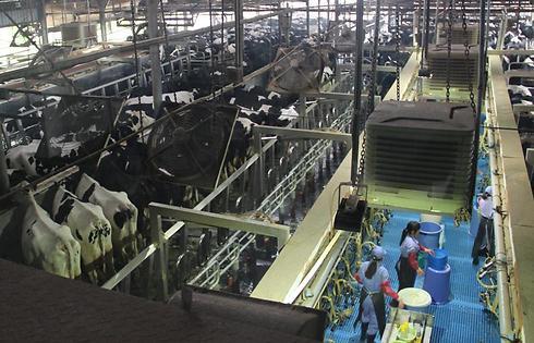 מחלבה של ברייט פוד בשנחאי. כ-5,000 פרות (צילום: בילי פרנקל) (צילום: בילי פרנקל)